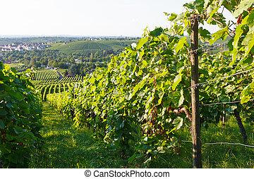 Stuttgart, Wino, Niemcy, pola