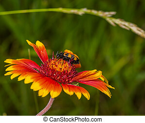 Stylish insect sitting on Indian blanket flower