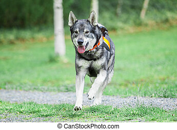 suédois, elkhound, (moosehound)