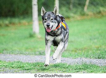 suédois, (moosehound), elkhound