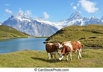 suíça, jungfrau, alpino, meadow., vacas, região