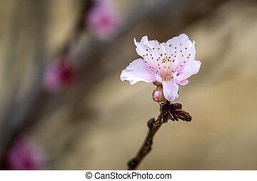 su, china, prunus, flor, era, primero, cultivo, detalle, ...