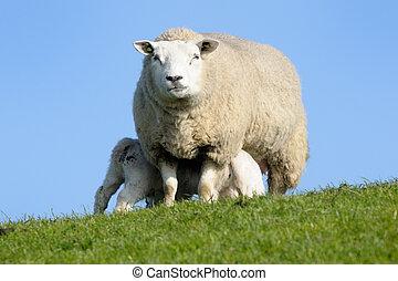 su, cría, dos, corderos, madre