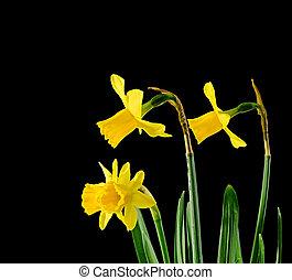 Fiori Gialli Ungheria.Narciso Fiori Tromboni Giallo Bello Giardino Giallo