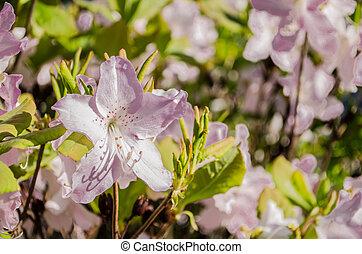 suave, lila, flor, flores, en, primavera, en, un, fondo verde