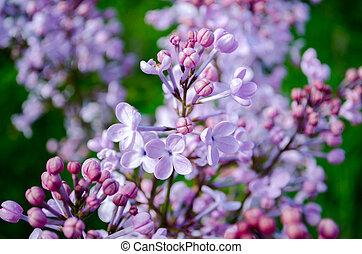 suave, púrpura, lila, flores, en, primavera, en, un, fondo verde