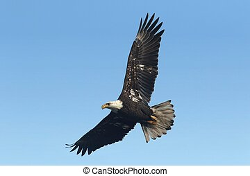 Bald Eagle (haliaeetus leucocephalus) - Sub-adult Bald Eagle...