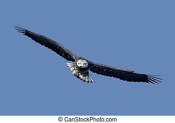 Sub-adult Bald Eagle - Sub-Adult Bald Eagle (haliaeetus...