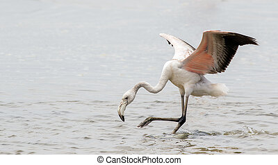 Sub-adult greater flamingo landing in Walvis Bay Lagoon,...