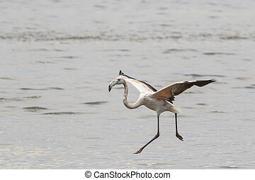 Sub-adult greater flaminto landing in Walvis Bay Lagoon,...