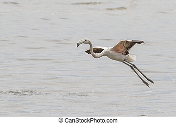 Sub-adult greater flaminto taking off in Walvis Bay Lagoon,...
