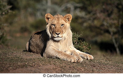 sub adult male lion - A male lion portrait. Golden sunlight...