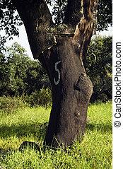 suber), forêt arbre, (quercus, bouchon
