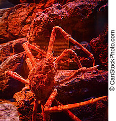 submarinas, gigante, aranha japonesa, carangueijo, rocha, aquariumun, oceânicos, natação