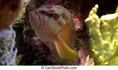 submarino, cephalopholis, grouper, coral, sea., miniata, pez...