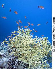 submarino, colorido, coral, paisaje, mar, tropical, arrecife...