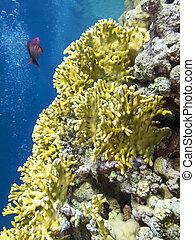 submarino, colorido, fondo, coral, tropical, arrecife, mar, ...