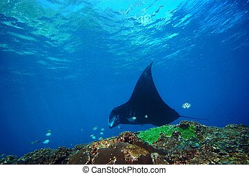 submarino, coral, manta, arrecife, buceo