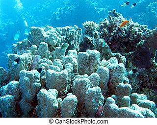 submarino, coral, tropical, porites, arrecife, mar