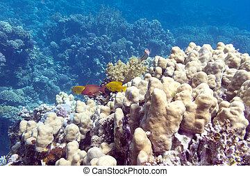 submarino, coral, tropical, porites, arrecife, mar, corales