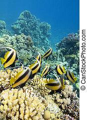 submarino, educación, bannerfish, colorido, coral, paisaje, ...