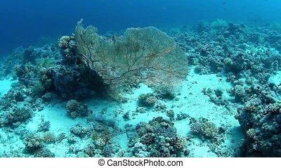 submarino, gorgonia, vista