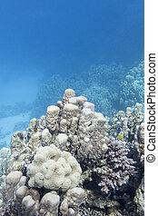 submarino, grande, coral, tropical, porites, arrecife, mar