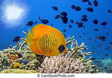 submarino, imagen, de, barrera coralina, y, enmascarado,...