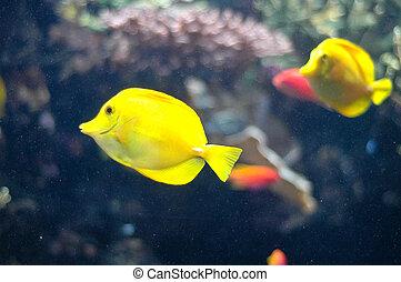 submarino, pez, amarillo, natación