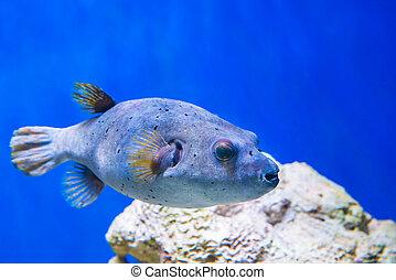 submarino, pez, fugu, vida de mar, naturaleza