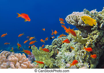 submarino, retoño, de, vívido, barrera coralina, con, un, peces, mar rojo, egypt.