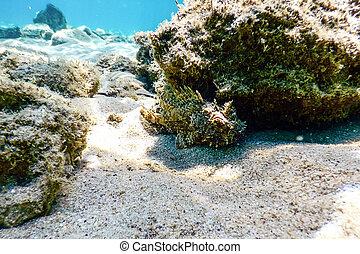 submarino, (scorpaena, notata), pez, escorpión, life., pequeño, scorpionfish, rojo