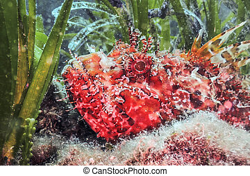 submarino, scrofa), (scorpaena, encima de cierre, scorpionfish, rojo