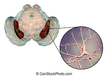 Substantia nigra of the midbrain and its dopaminergic...