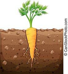 subterrâneo, cenoura, raiz