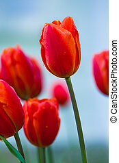 subtle red tulips bloomed in early spring in a city Park, closeup shot