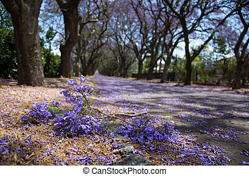 Suburban road with line of jacaranda trees and small branch...