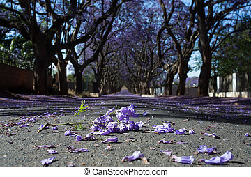 Suburban road with line of jacaranda trees and small branch with