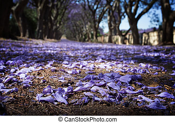 Suburban road with line of jacaranda trees and small flowers