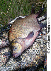 Successful fishing - big freshwater bream fish on keepnet with fishery catch in it.