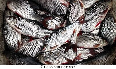 Successful Fishing good catch roach, catch roach live fish ...