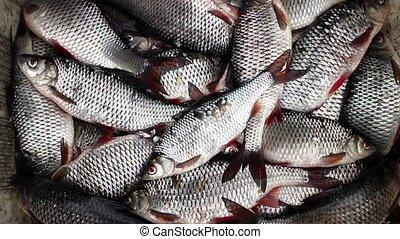 Successful Fishing good catch roach, catch roach live fish...