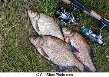 Successful fishing - pile of big freshwater bream fish and fishing rod with reel on natural background.