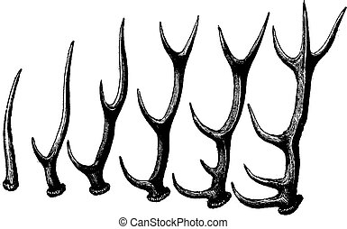 Successive forms taken by the antlers of a stag, vintage engraving.