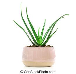 Succulent Aloe Vera Plant on White Pot Isolated on White Background.