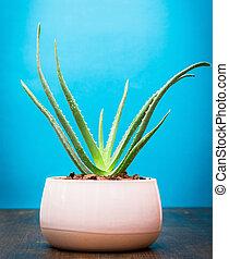 Succulent Aloe Vera Plant on White Pot Isolated on wood