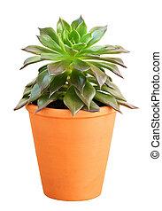 Succulent flower in a pot