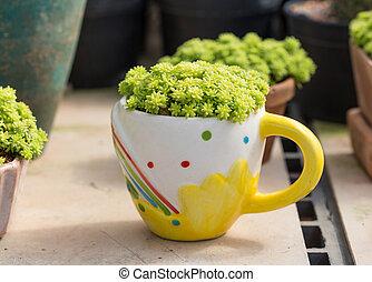 Succulent green sedum plant