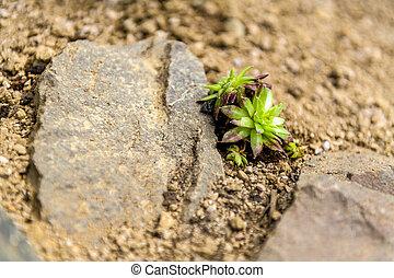Succulent houseleek flower planted in a rockery garden. Rock garden sempervivum plant close up.