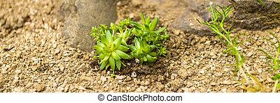 Succulent houseleek flower planted in a rockery garden. Rock garden sempervivum plant panoramic close up.